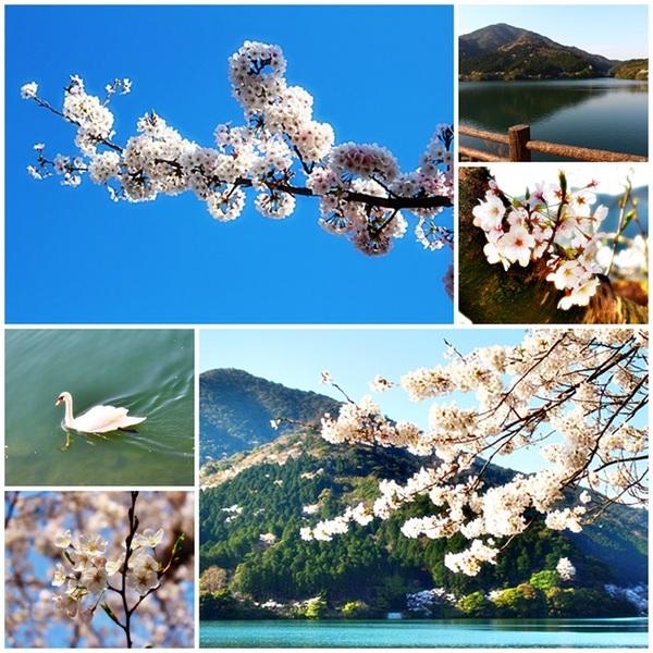 2014.4.1桜 深坂の森.jpg